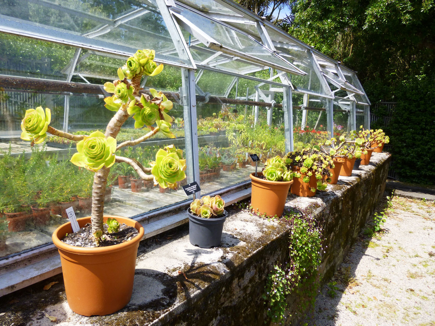 Some specimens of the remarkable <i>Aeonium</i> collection of Tresco Abbey Garden