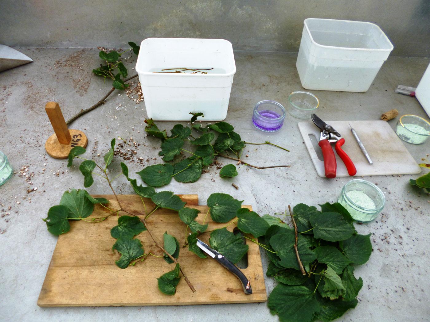 Taking cuttings of <i>Alnus glutinosa</i> at the National Botanic Gardens of Wales