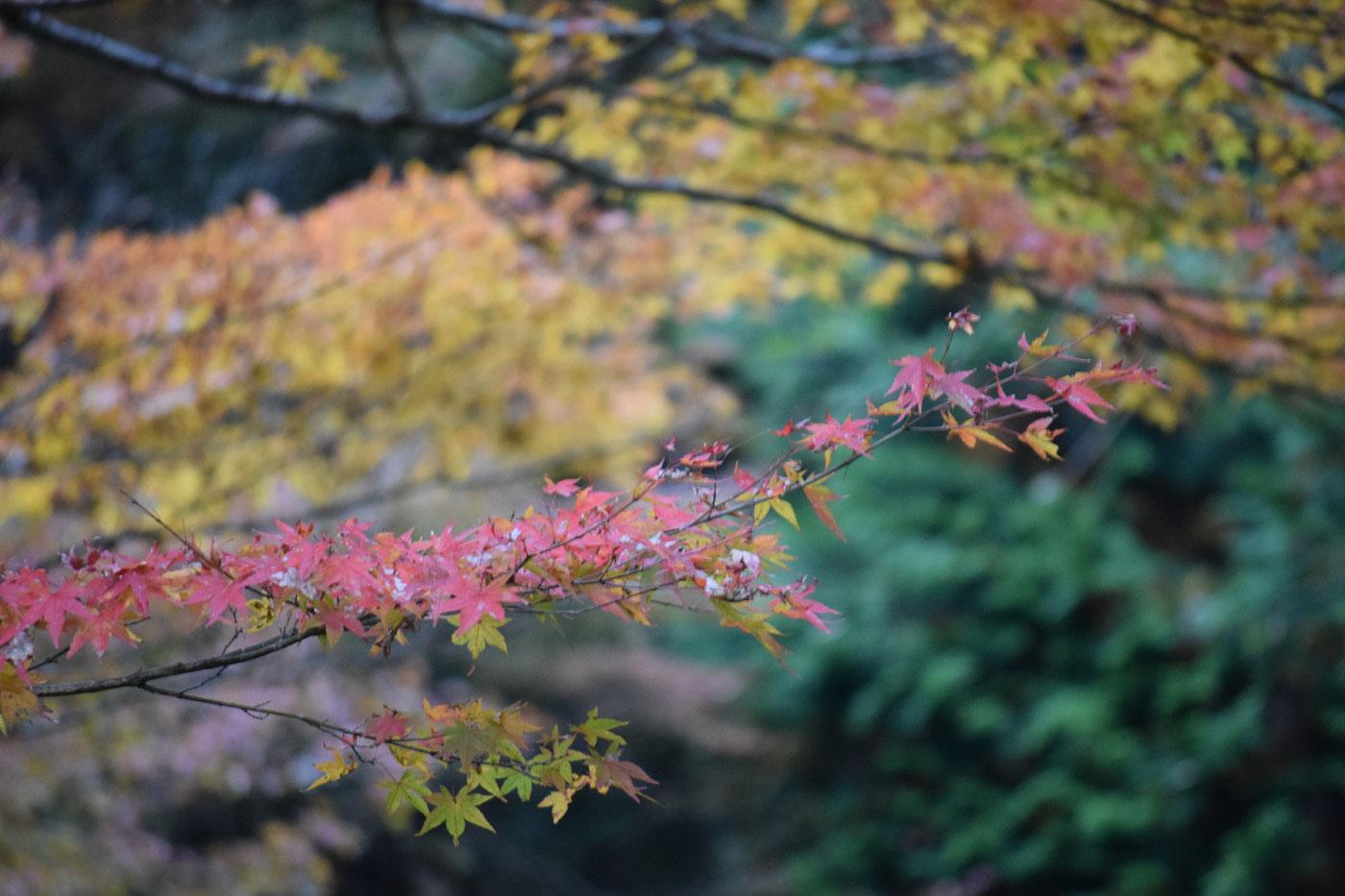 Acero Blu Giapponese aceri alla giapponese - giulio veronese