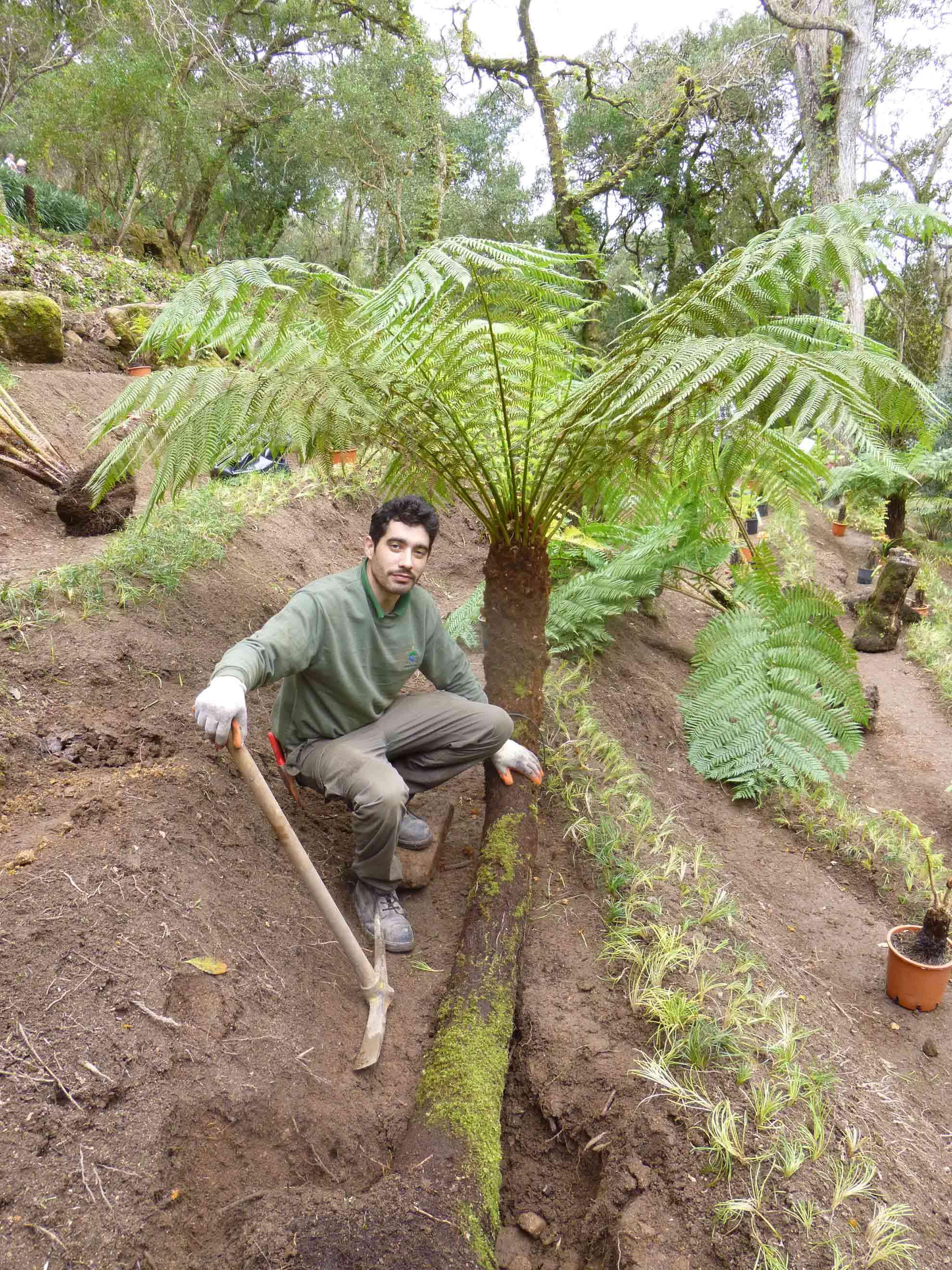Transplanting an adult specimen of <i>Cyathea dealbata</i> (Sintra, Portugal)