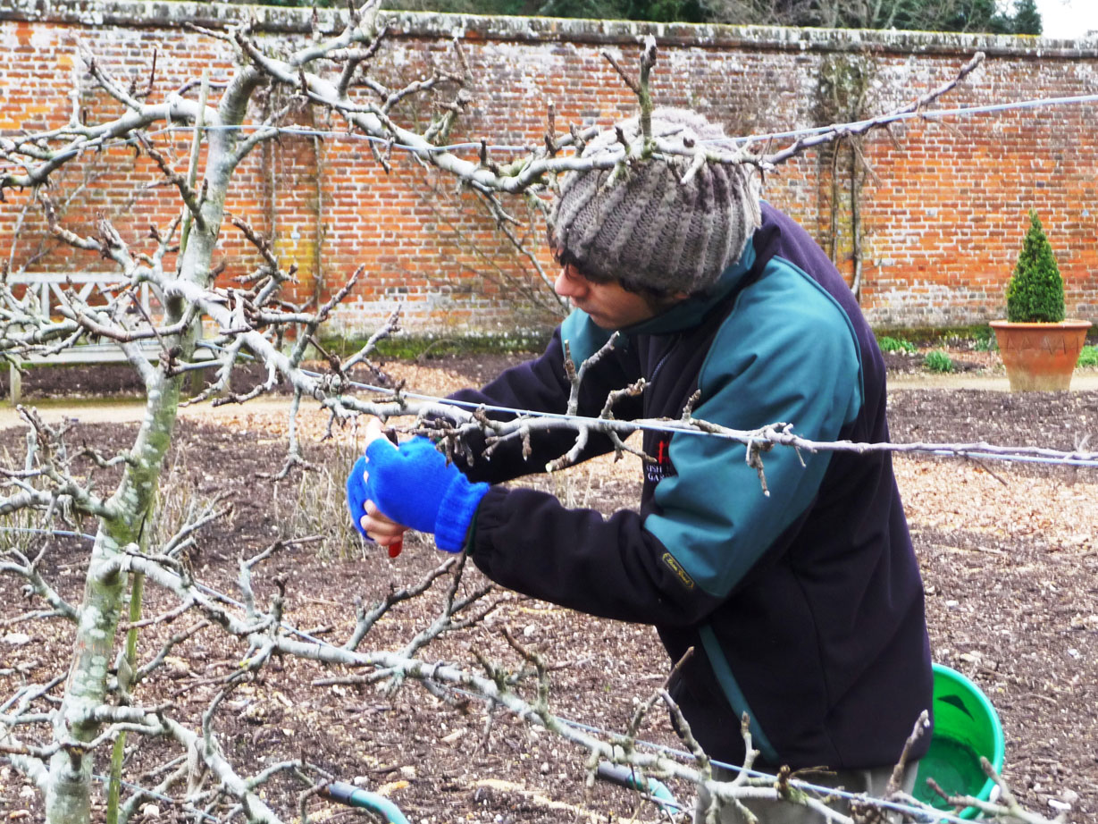 Winter pruning on the apple espaliers in the Walled Garden at Osborne House
